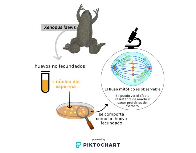 Sistema experimental para estudiar como los microtúbulos con proteínas asociadas se auto-organizan para formar el huso mitótico.