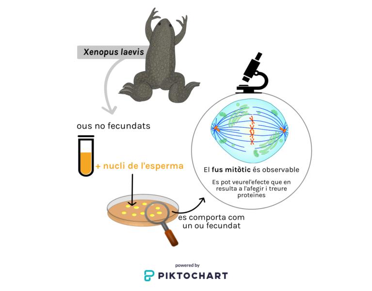 Sistema experimental per estudiar com els microtúbuls amb proteïnes associades s'auto-organitzen per formar el fus mitòtic.