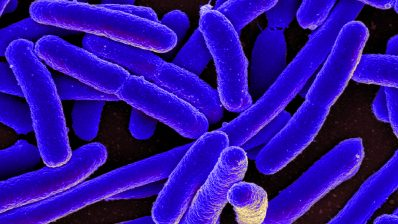 Escherichia coli is one of the bacteria that form our microbiota, along with Candida albicans and Staphylococcus aureus.