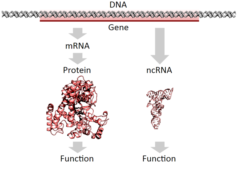Protein coding genes are transcribed to an mRNA intermediate, then translated to a functional protein. RNA-coding genes are transcribed to a functional non-coding RNA