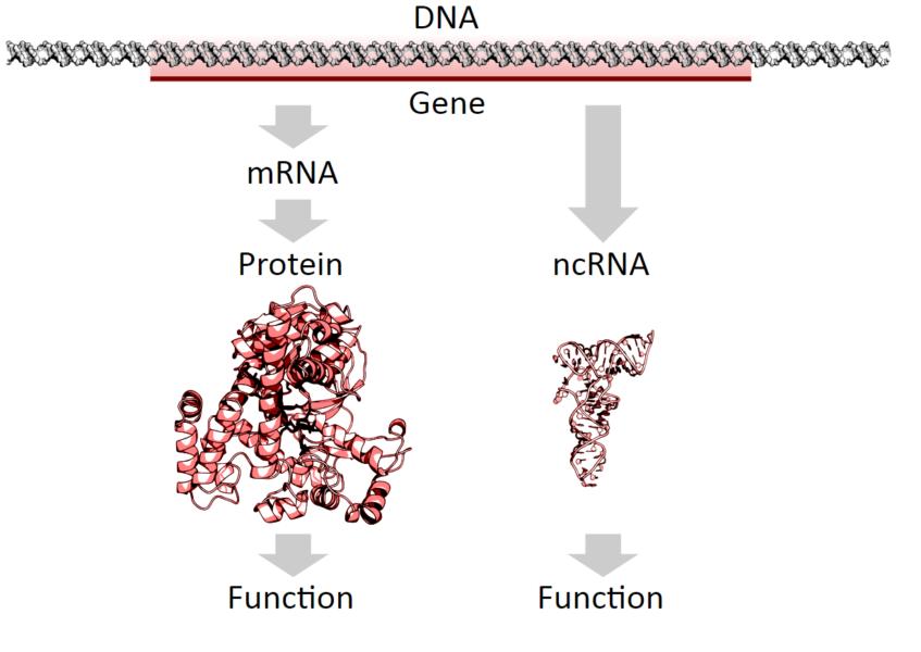 Els gens es transcriuen a un intermediari mRNA, que després es tradueix a una proteïna funcional. Els gens d'ARN, però, es transcriuen a un ARN no codificant funcional.