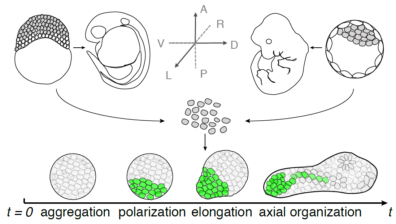 embryonic cells outside the embryo form an organoid and elongate