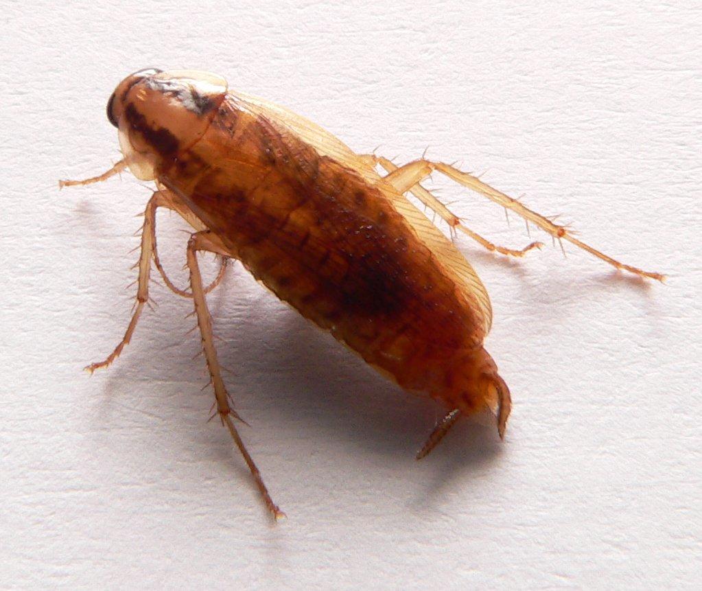 El grupo estudia la cucaracha alemana (Blattella germanica).