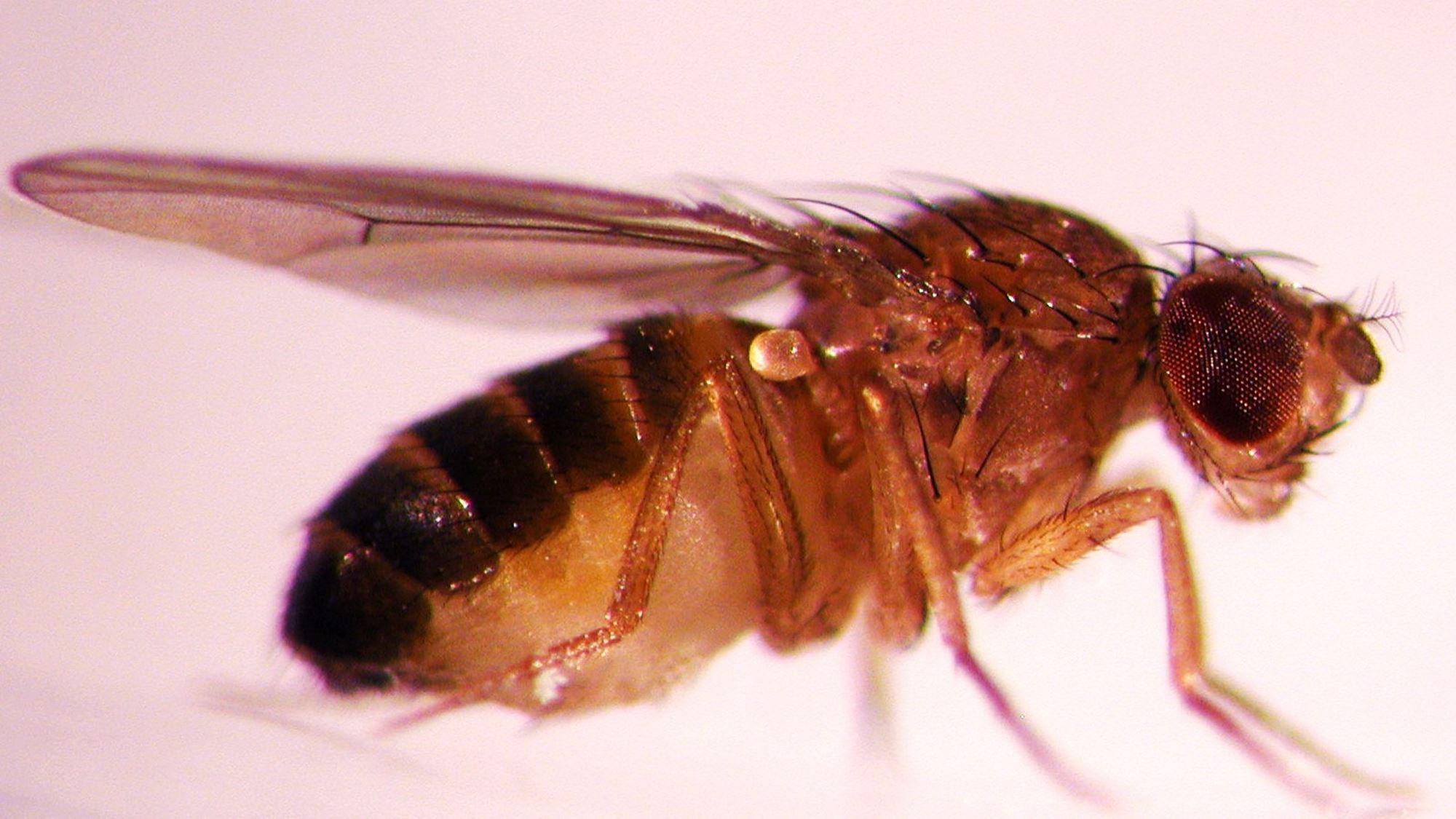 Drosophila fue el primer organismo multicelular del que se secuenció el genoma completo en el año 2000 (Imagen de la Universidad Estatal de Oregon en Flickr).