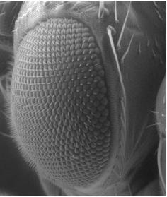 El ojo de la mosca Drosophila está formado por unas 700 unidades