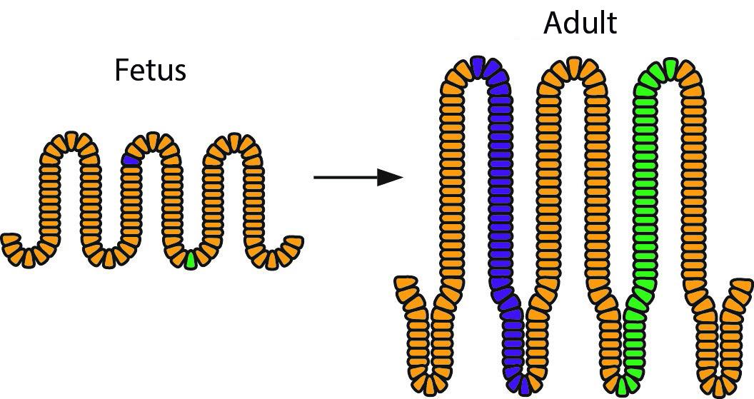 Il·lustració esquemàtica dels resultats de l'estudi: les cèl·lules acolorides de blau i verd són localitzades originalment en diferents parts de l'epiteli fetal, però ambdues poden acabar al fons de la cripta adulta, convertint-se en cèl·lules mare i generant progènie (marcades en color).