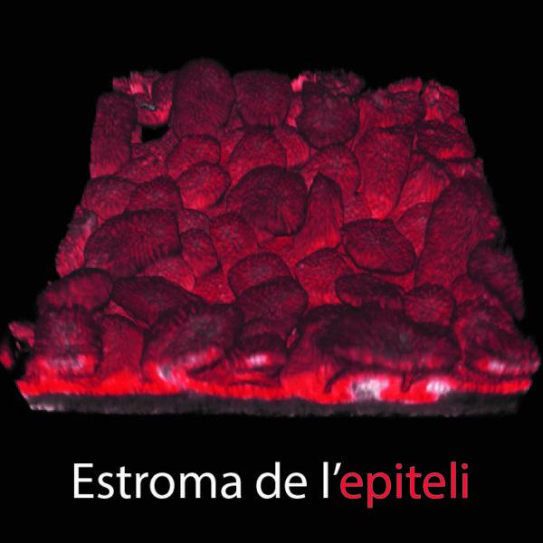 Reconstrucció 3D de l'epiteli intestinal d'un fetus.