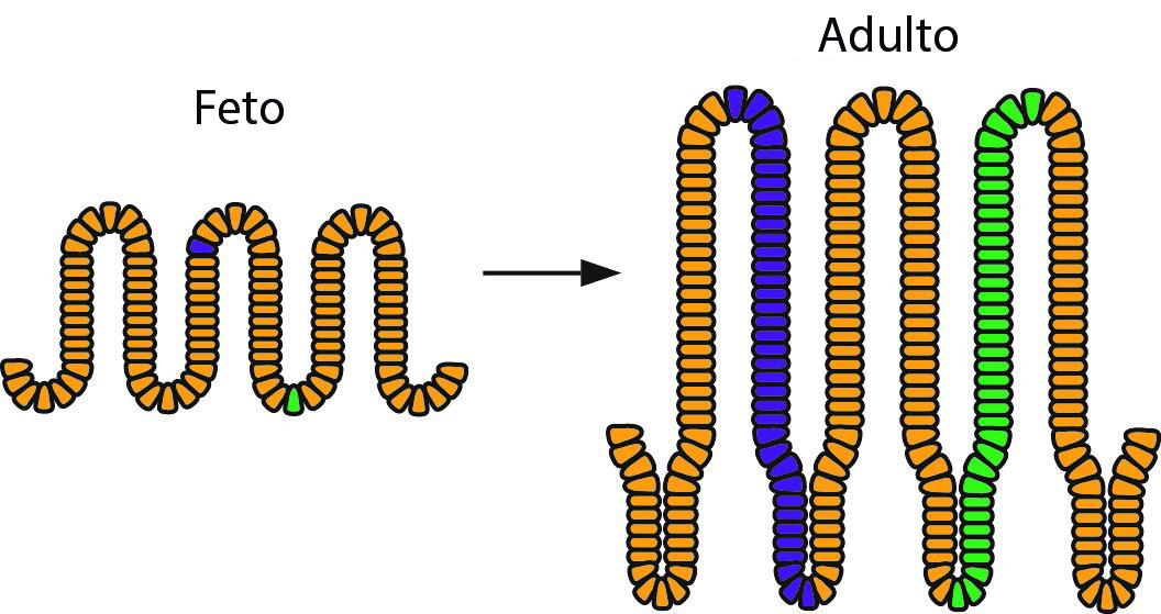Ilustración esquemática de los resultados del estudio: las células coloreadas de azul y verde son localizadas originalmente en distintas partes del epitelio fetal, pero ambas pueden acabar al fondo de la cripta adulta, convirtiéndose en células madre y generando progenie (marcadas en color).