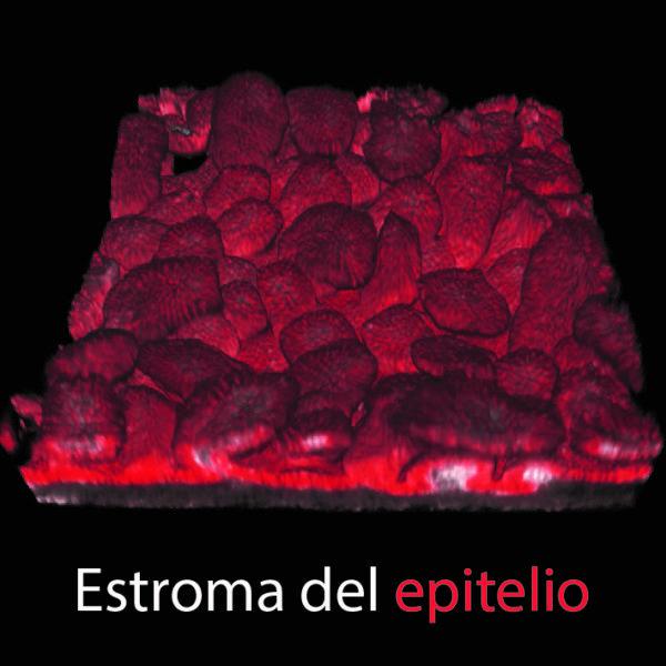 Reconstrucción 3D del epitelio intestinal de un feto.