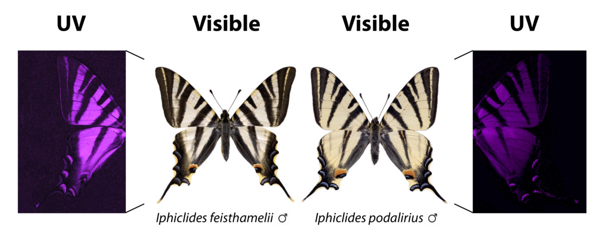 The subtle differences in the visible pattern of the wing become surprisingly evident with UV photography.