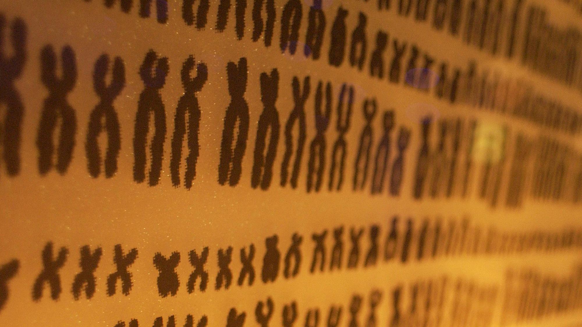 Las mujeres tienen dos copias del cromosoma X, mientras que los hombres tienen un cromosoma X y un Y. El pequeño cromosoma Y es la clave de por qué los hombres tienen más riesgo de cáncer. Foto de Kate Whitley CC-BY.