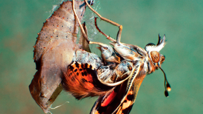 "Metamorphosis is considered one of the most innovative processes in the evolution of insects. | Picture taken from the cover of the book ""Insect Metamorphosis: From Natural History to Regulation of Development and Evolution""."