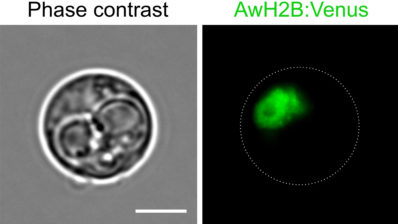 Abeoforma whisleri is a single-celled marine protist important in scientific research to understand the origins of animals. A. whisleri cells were transformed with plasmid DNA encoding a fluorescence protein to label the A. whisleri nuclei in green, enabling an experimental model systems team to better study the life cycle of this organism. | Picture by Sebastian. R Najle and Elena Casacuberta.