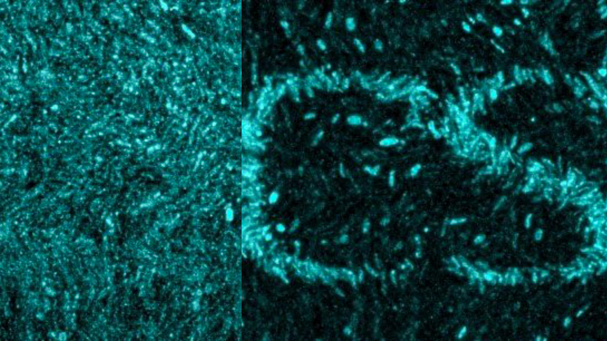 Researchers used light exposure to impress a complex pattern, spread across an area slightly smaller than the thickness of a human hair, onto a biofilm community, made up of hundreds of individual bacteria. | Picture by the UPF and UCSD.