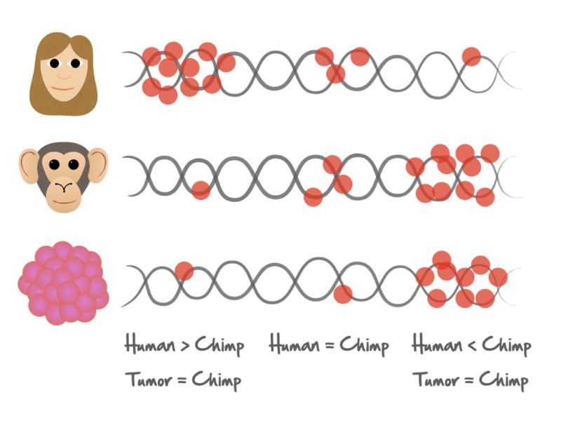 Distribuión de las mutaciones en los genomas de humanos, chimpancés y muestras tumorales. Crédito: Txema Heredia-Genestar.