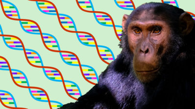 IBE researchers have developed a method to determine the chimpanzee subspecies with affordable genomic analysis that can be used to conserve endangered species.
