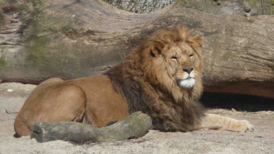 Male lion at the Copenhagen Zoo in April 2014. | Picture by Ross Barnett, researcher at the GLOBE Institute and co-author of the study.