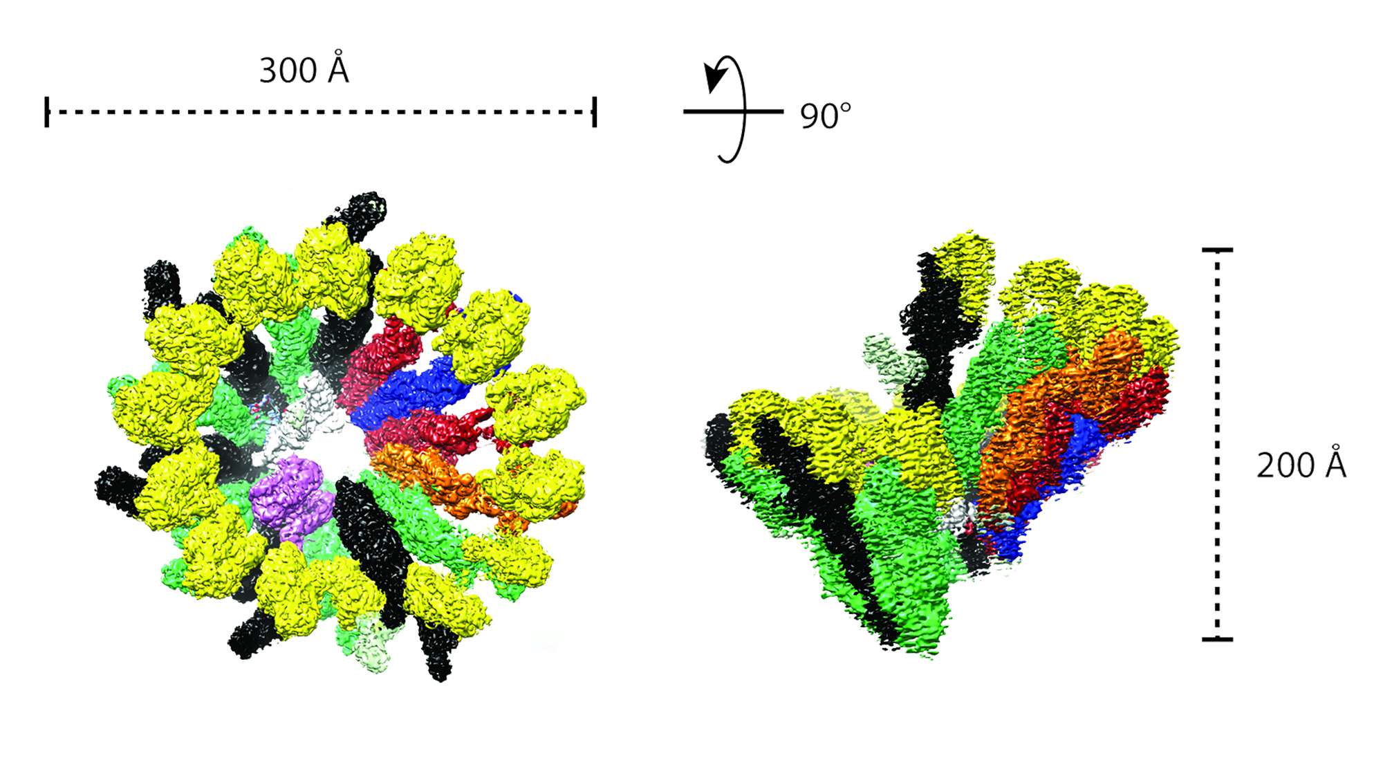 The human γTuRC structure seen by cryo-electron microscopy. Image from the Surrey lab.