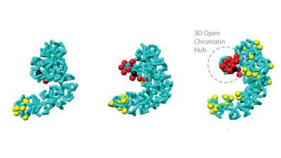 La manera en la que els cromosomes ocupen l'espai tridimensional és crucial per a regular la funció del genoma, així com els processos essencials per la vida, tals com la replicació de l'ADN, la transcripció i la reparació de l'ADN malmès.