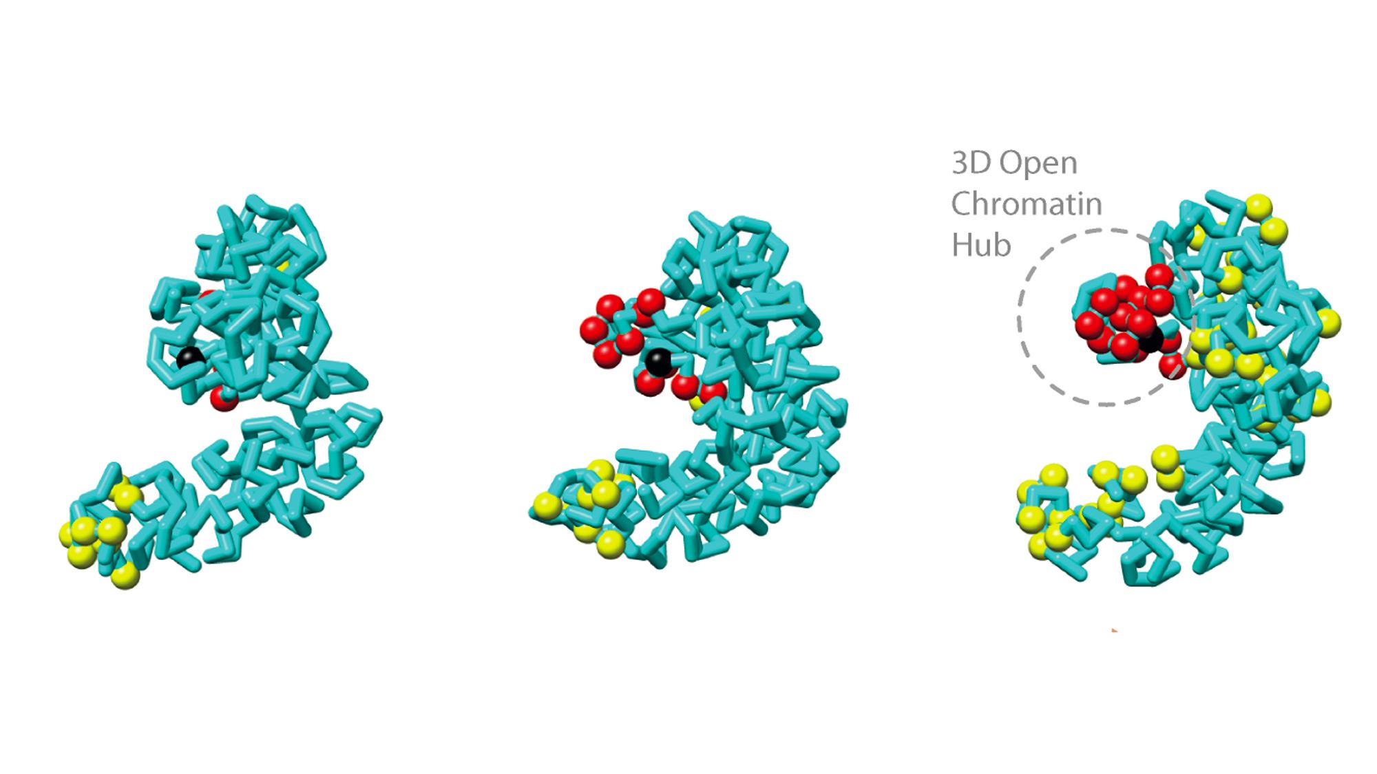 La manera en la que los cromosomas ocupan el espacio tridimensional es crucial para regular la función del genoma, así como los procesos esenciales para la vida, tales como la replicación del ADN, la transcripción y la reparación del ADN dañado.
