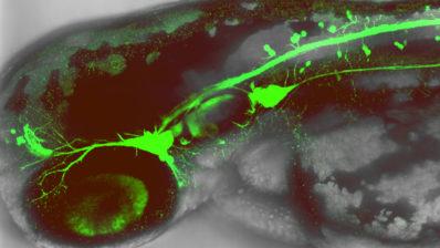 Embrió de peix zebra amb neurones sensorials flurescents, Imatge del laboratori de Berta Alsina.