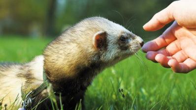 Les fures són els animals amb major risc de contraure el SARS-CoV-2, després dels humans.