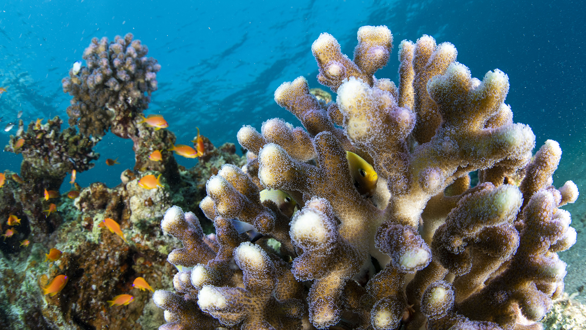 Immune cells found for the first time in a coral